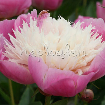 Paeonia Bowl of Beauty