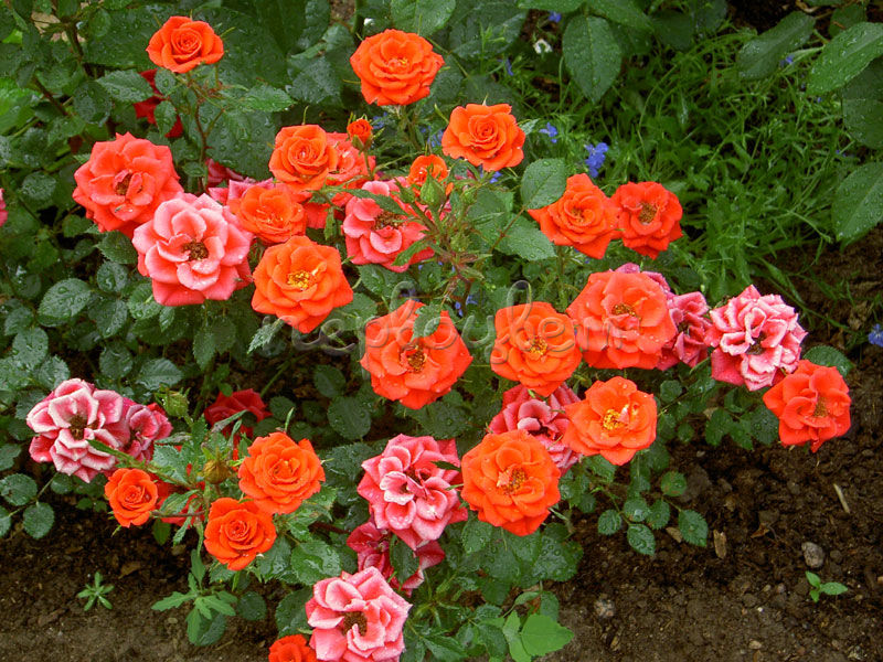 роза оранж беби фото и описание